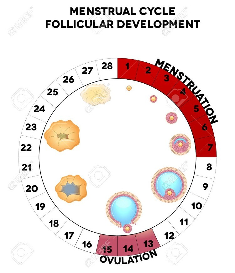 Fertility and Ovulation